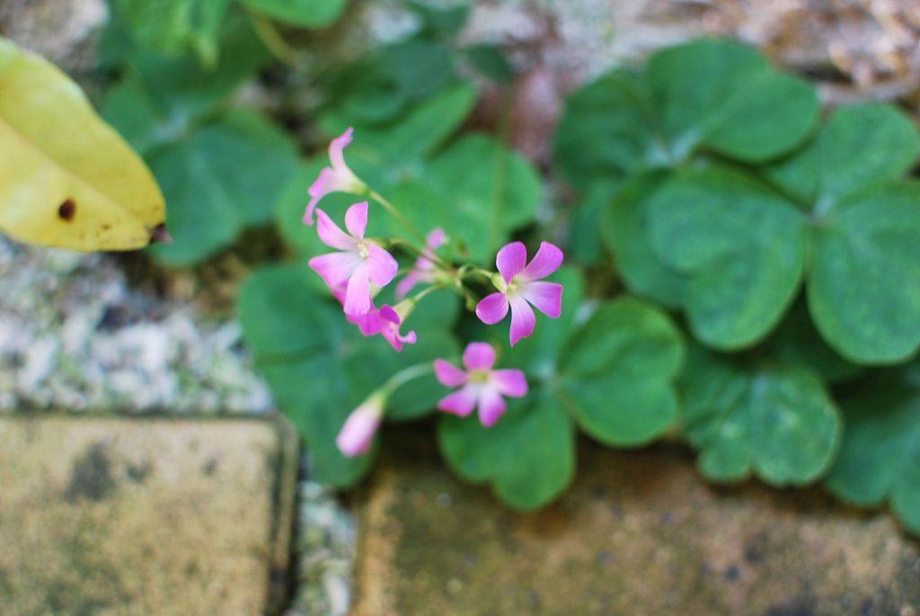 ミツバのクローバーの花 なんて可憐なんでしょう